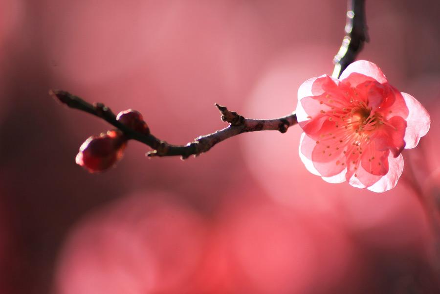 フリー写真 紅梅の花と蕾