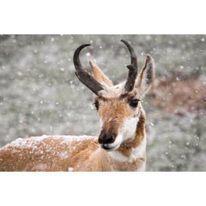 フリー写真, 動物, 哺乳類, プロングホーン, 雪, 冬