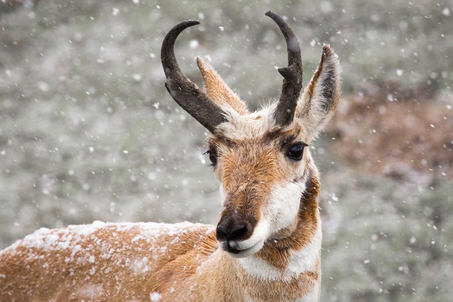 フリー写真 雪とプロングホーン