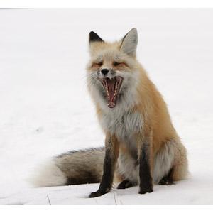 フリー写真, 動物, 哺乳類, 狐(キツネ), 欠伸(動物), 雪, 冬