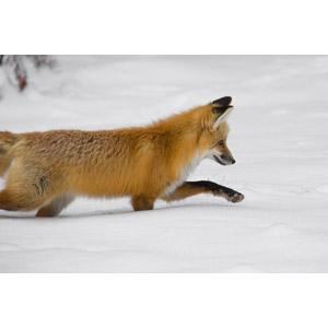 フリー写真, 動物, 哺乳類, 狐(キツネ), 雪, 冬