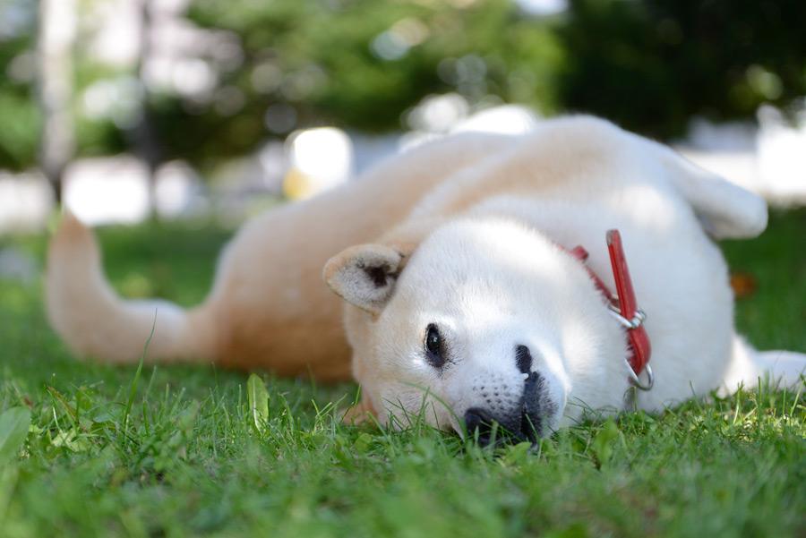 フリー写真 死んだふりをした柴犬