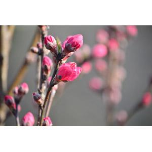 フリー写真, 植物, 梅(ウメ), 蕾(つぼみ), 枝, 春