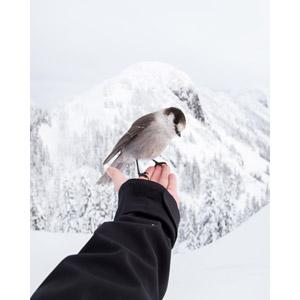 フリー写真, 人体, 手, 人と動物, 動物, 鳥類, 鳥(トリ), 雪, 冬