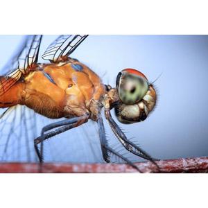 フリー写真, 動物, 昆虫, とんぼ(トンボ)