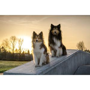 フリー写真, 動物, 哺乳類, 犬(イヌ), シェットランド・シープドッグ, 夕暮れ(夕方), 夕日