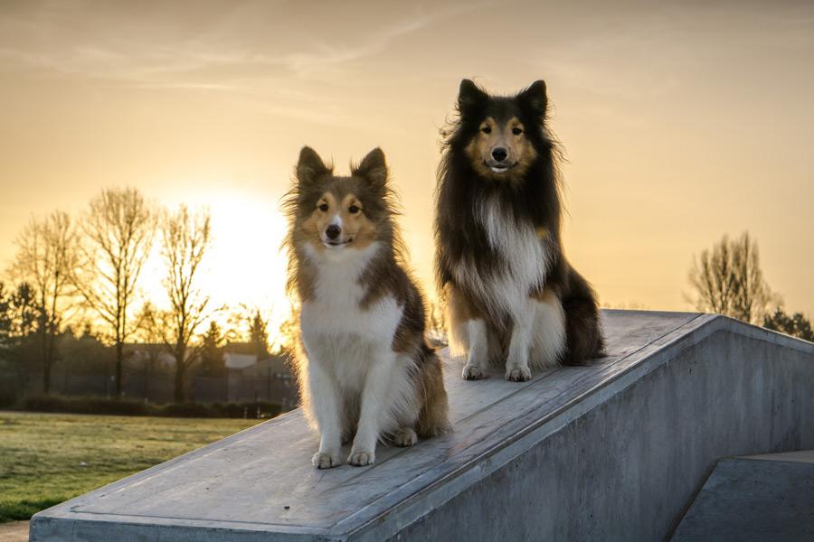 フリー写真 夕陽と二匹のシェットランド・シープドッグ
