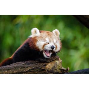 フリー写真, 動物, 哺乳類, レッサーパンダ, 欠伸(動物), 口を開ける(動物), 目を閉じる(動物)