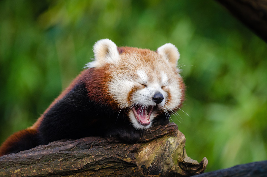 フリー写真 あくびしているレッサーパンダ