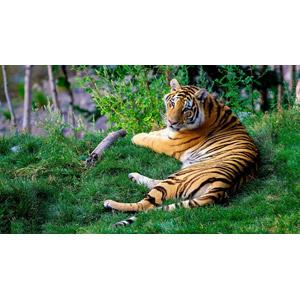 フリー写真, 動物, 哺乳類, 虎(トラ)