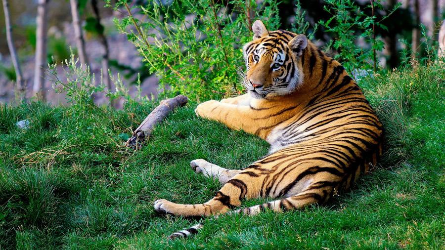 フリー写真 草の上に横たわるトラ