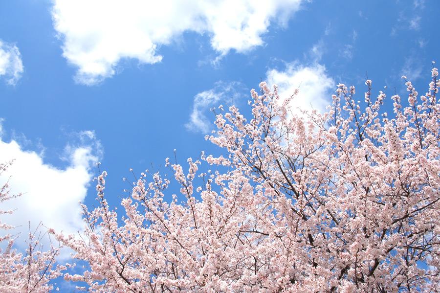 フリー写真 青空と満開に咲く桜の木の風景