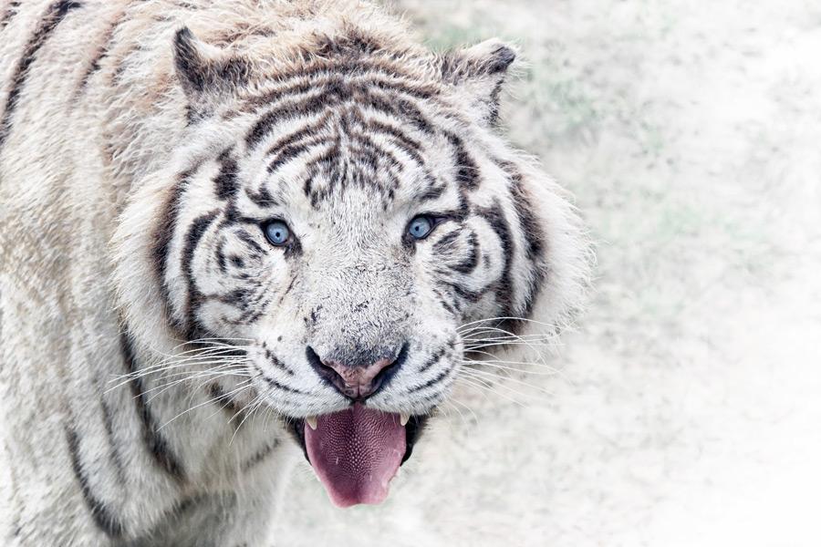 フリー写真 舌を出すホワイトタイガー