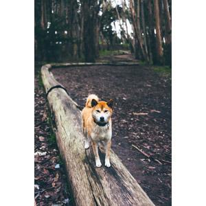 フリー写真, 動物, 哺乳類, 犬(イヌ), 柴犬(シバイヌ)