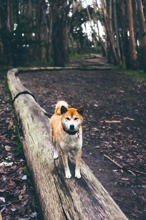 フリー写真 丸太の上の柴犬