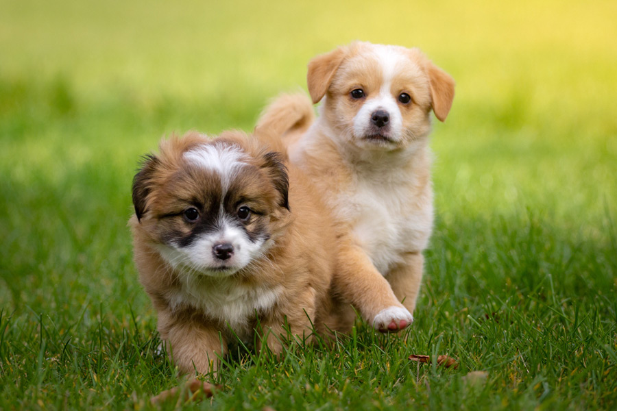 フリー写真 芝生を駆ける二匹の子犬