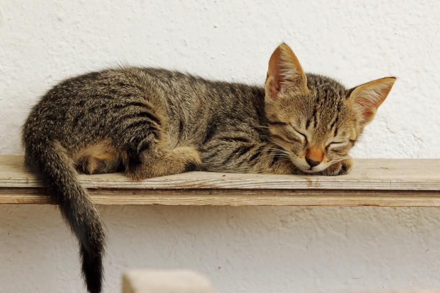 フリー写真 すやすや寝ているキジトラの子猫
