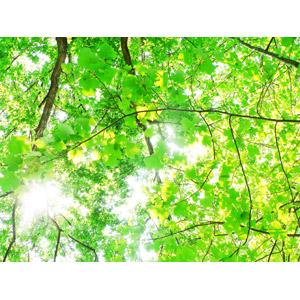 フリー写真, 風景, 自然, 植物, 枝, 葉っぱ, 木漏れ日, 太陽光(日光), 緑色(グリーン)