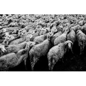 フリー写真, 動物, 哺乳類, 羊(ヒツジ), 牧畜, 群れ, モノクロ