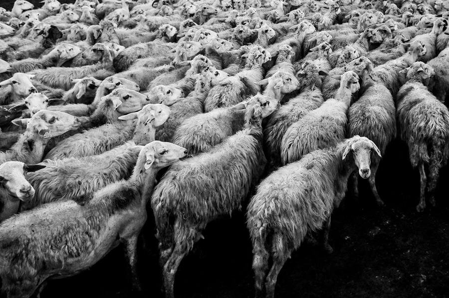 フリー写真 渋滞中の羊の群れ