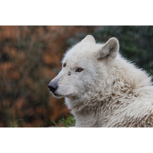 フリー写真, 動物, 哺乳類, 狼(オオカミ), ホッキョクオオカミ