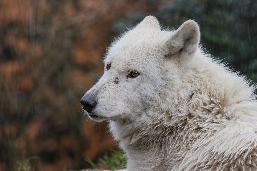 フリー写真 振り返るハドソン湾オオカミ