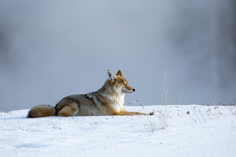 フリー写真 雪の上に伏せているコヨーテ
