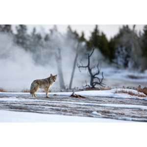 フリー写真, 動物, 哺乳類, コヨーテ, 雪, 冬