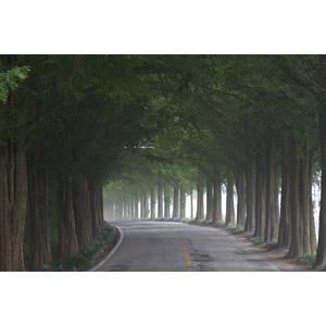 フリー写真, 風景, 道路, 並木道, 樹木