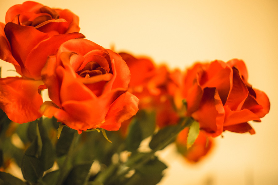 フリー写真 赤いバラの花