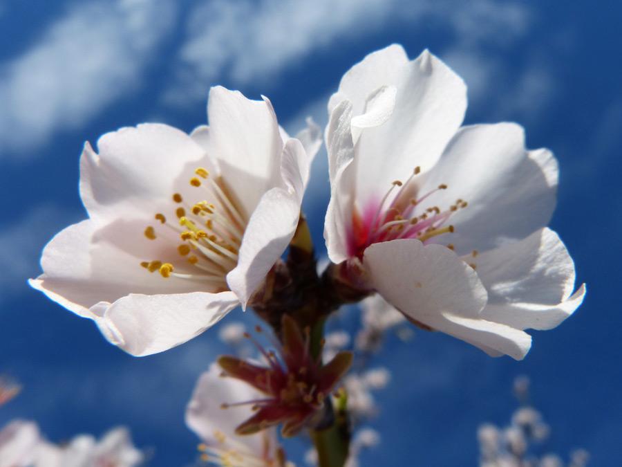 フリー写真 青空とアーモンドの花