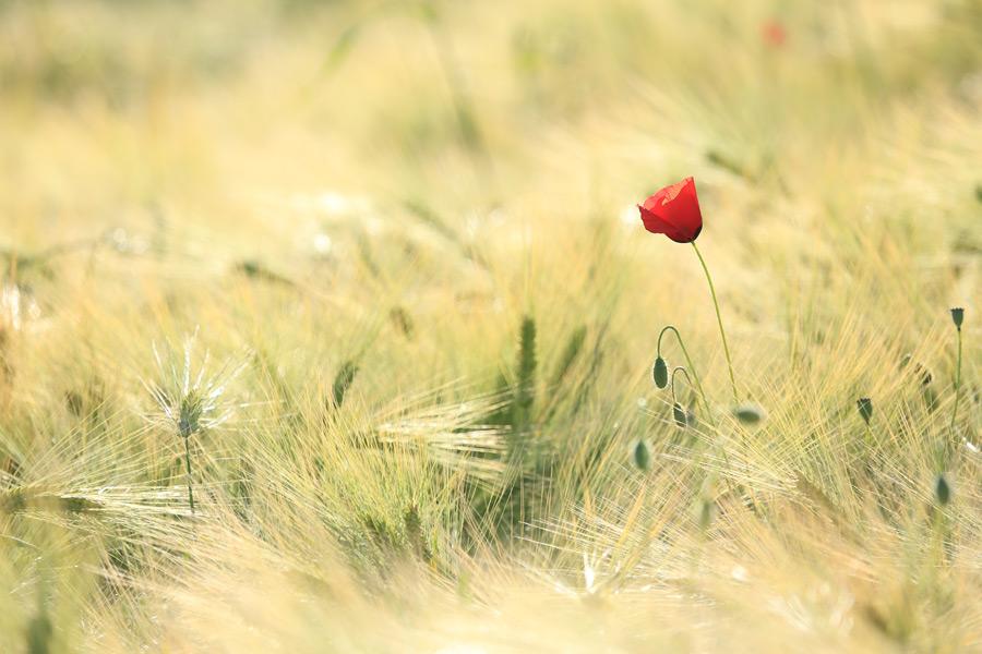 フリー写真 麦畑に咲くヒナゲシの花