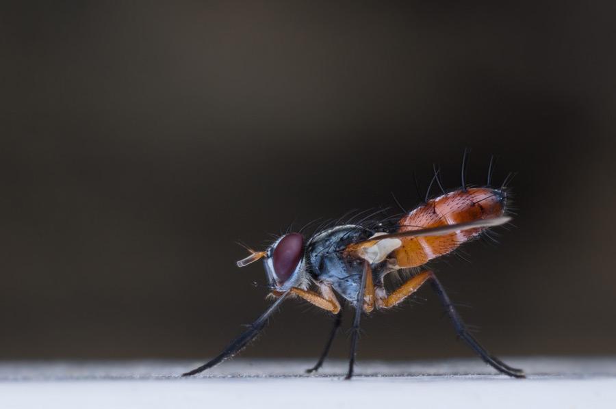 フリー写真 蠅のマクロ