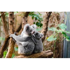 フリー写真, 動物, 哺乳類, コアラ, 子供(動物), 親子(動物)