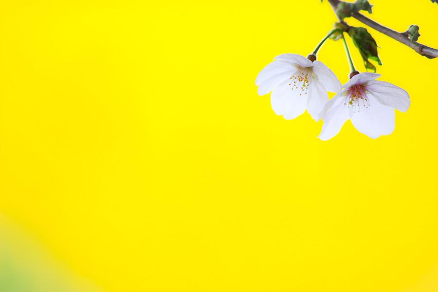 フリー写真 黄色の背景と桜の花