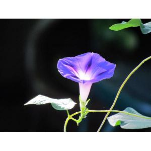 フリー写真, 植物, 花, 朝顔(アサガオ), 紫色の花, 夏
