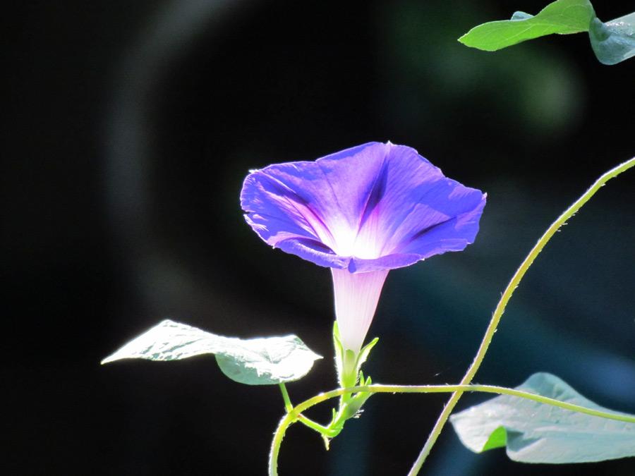 フリー写真 あさがおの花