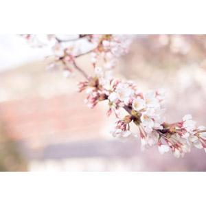 フリー写真, 植物, 花, 桜(サクラ), 蕾(つぼみ), 枝, 春