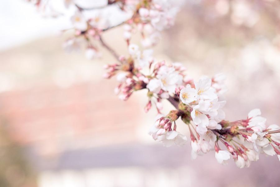 フリー写真 咲き始めの桜の花