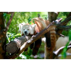 フリー写真, 動物, 哺乳類, レッサーパンダ, 寝る(動物)