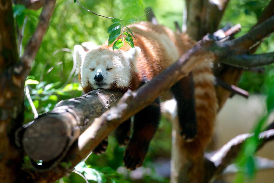 フリー写真 木の上に跨って寝ているレッサーパンダ