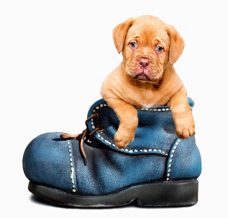フリー写真 靴の中に入った子犬