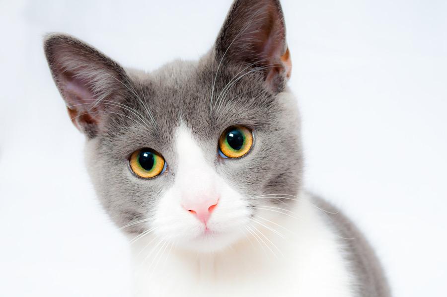 フリー写真 灰白猫