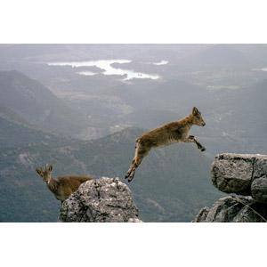 フリー写真, 動物, 哺乳類, 山羊(ヤギ), 子供(動物)
