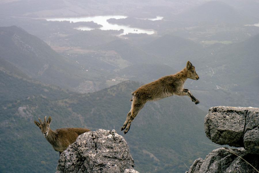 フリー写真 崖の岩をジャンプする子ヤギ