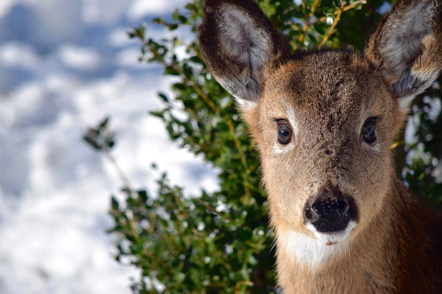 フリー写真 小鹿