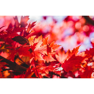 フリー写真, 植物, 葉っぱ, もみじ(カエデ), 紅葉(黄葉), 秋