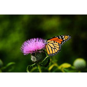 フリー写真, 動物, 昆虫, 蝶(チョウ), スジグロカバマダラ, 植物, 花, 薊(アザミ), 紫色の花