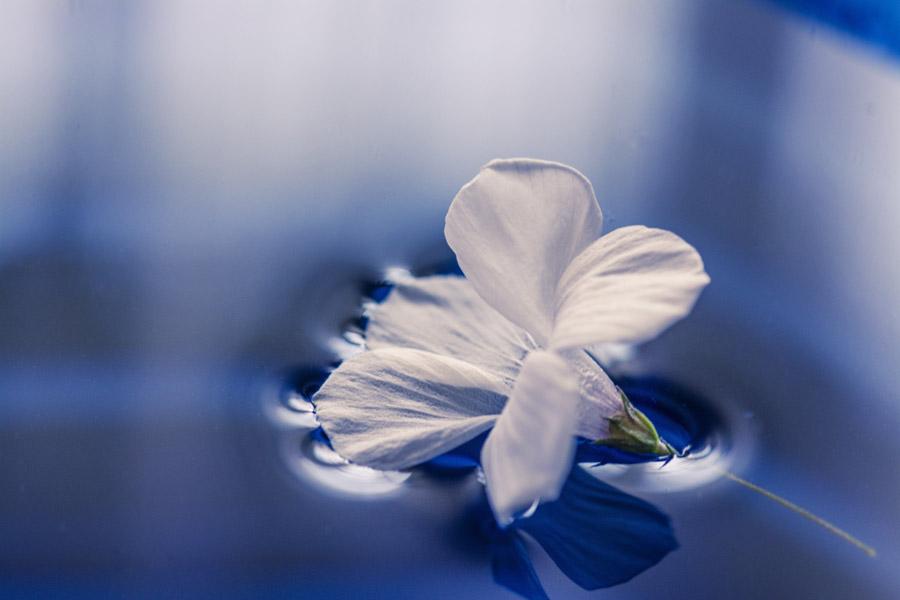 フリー写真 水に浮かんだ白い花