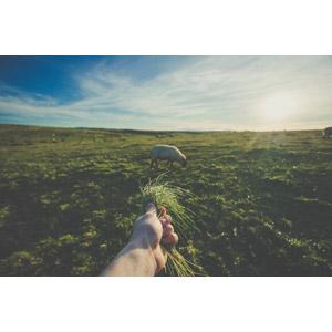 フリー写真, 人体, 手, 雑草, 羊(ヒツジ), 牧草地